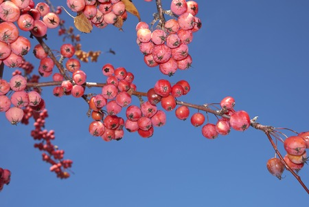 Malus, crab apple fruit
