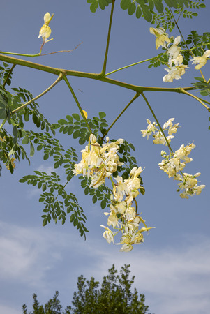 Moringa oleifera branch with fruits and flower