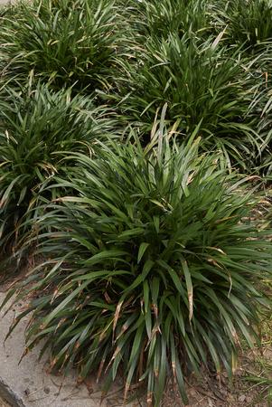 Liriope muscari plant Stock Photo
