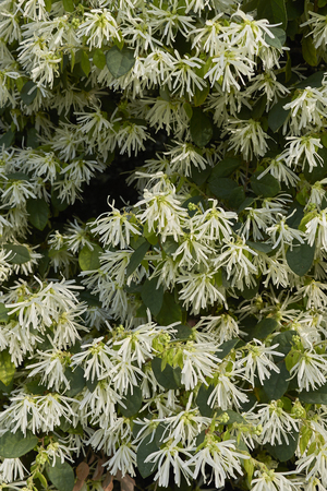 Loropetalum chinense plant Imagens