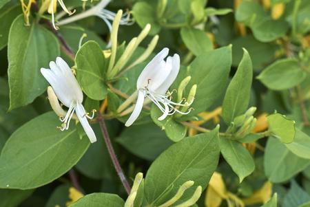 Lonicera japonica plant