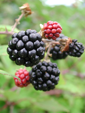 ripe and fresh blackberries