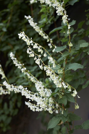 Fallopia baldschuanica white blossom Stock Photo