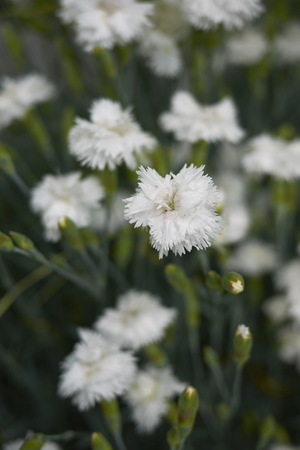 Dianthus in bloom Stock Photo