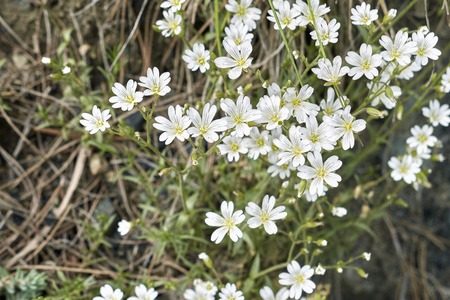 Cerastium biebersteinii white flower Stock Photo
