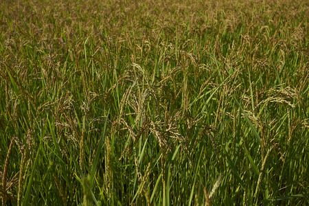 Oryza sativa, rice field in Italy Stock Photo