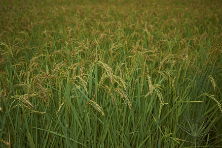 Oryza sativa, rice field in Italy