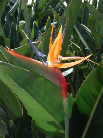 colorful flower of Strelitzia reginae Stock Photo