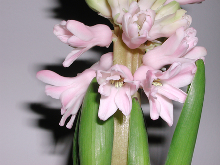Hyacinthus orientalis pink flowers Stock Photo
