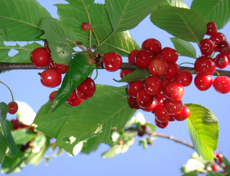 Prunus avium branch with red ripe cherries