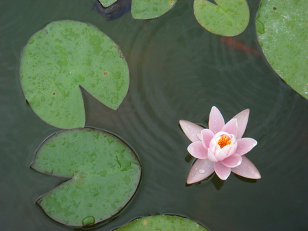 Nymphaea pink flowers and red fishes Stock Photo