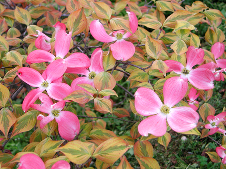 Cornus Florida rubra branch in bloom Stock Photo