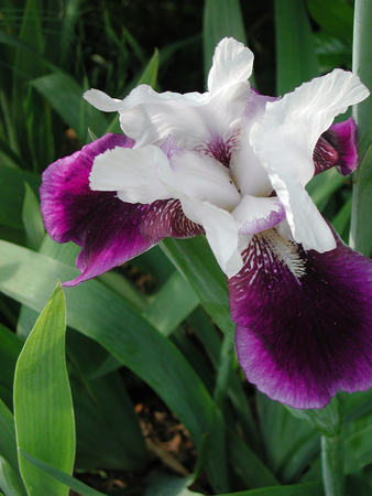white and purple Iris flower