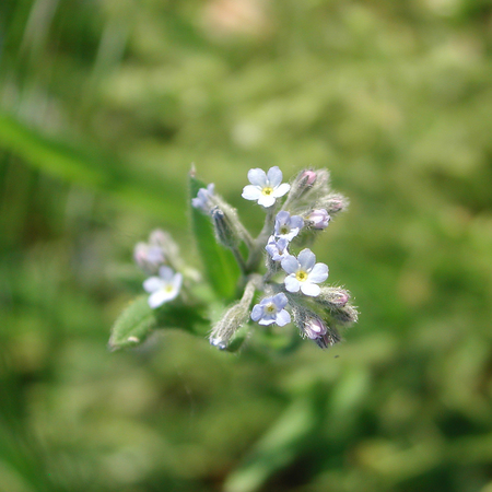 Myosotis arvensis blue little flowers Stock Photo