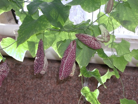 Aristolochia littoralis x gigantea in bloom