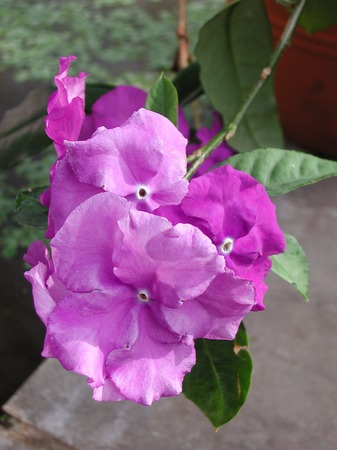 Brunfelsia pauciflora purple flowers Stock Photo