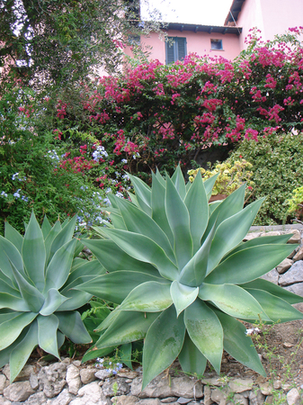 Agave attenuata succulent plants Stock Photo