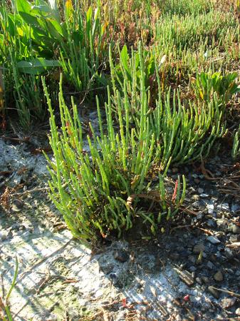 Salicornia plants by Adriatic Sea Stock Photo