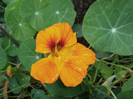 orange flower of Tropaeolum majus