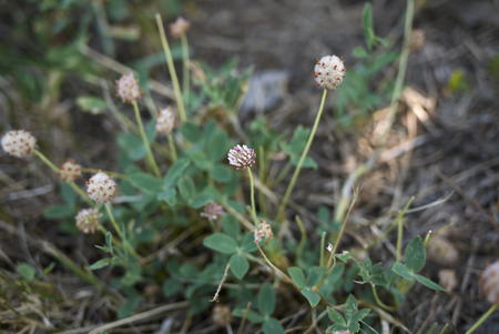 Trifolium fragiferum in bloom 免版税图像