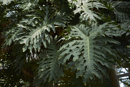 Philodendron bipinnatifidum close up