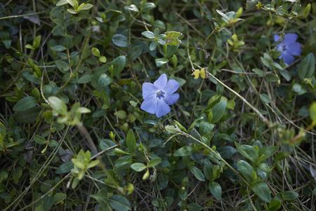 Vinca minor in bloom