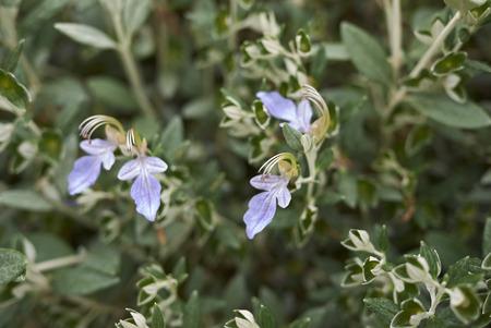 Teucrium fruticans lavender flowers Reklamní fotografie