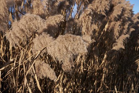 Phragmites australis plant in winter Stock fotó