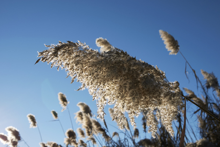 Phragmites australis plant in winter Фото со стока