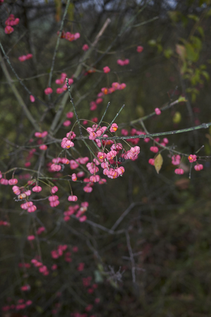 Euonymus europaeus branch with colorful