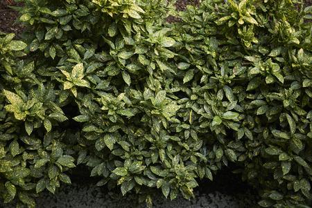 Aucuba japonica variegated foliage