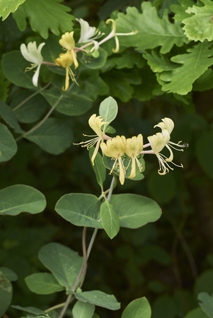 Lonicera caprifolium plant Stock Photo