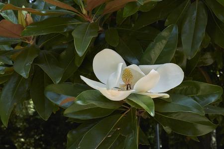 Magnolia grandiflora plant