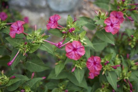 Mirabilis jalapa plant