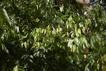 Cinnamomum burmannii fresh foliage