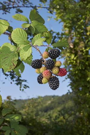 Rubus ulmifolius branch with blackberry