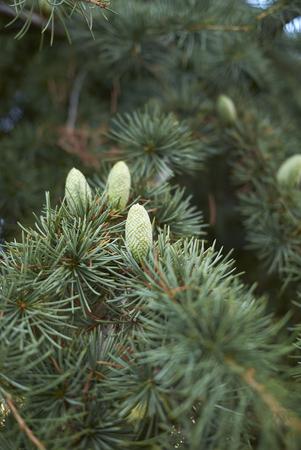 Cedrus atlantica avec inflorescence