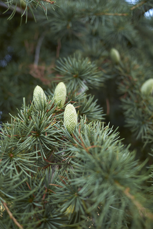 Cedrus atlantica with inflorescence
