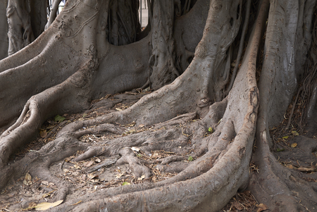 Ficus macrophylla trunk close up Stock Photo