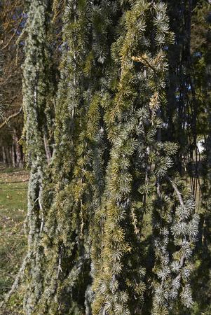 Cedrus atlantica glauca with pendulous branches