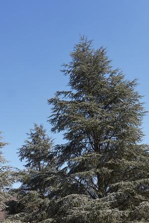 Cedrus atlantica foliage