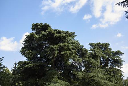 Cedrus libani trees in a park Stock Photo