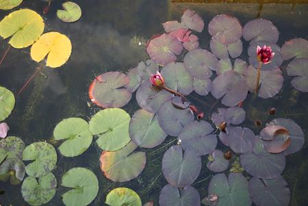 Nymphaea plant Stok Fotoğraf - 120983189