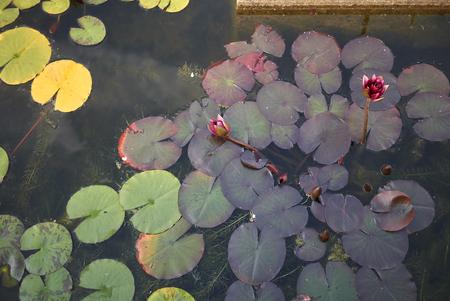 Nymphaea plant Stok Fotoğraf - 120983152