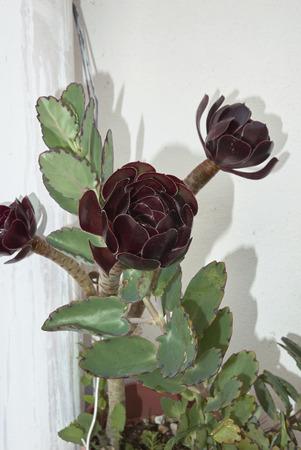 kalanchoe fedtschenkoi and Aeonium arboreum atropurpureum close up Foto de archivo