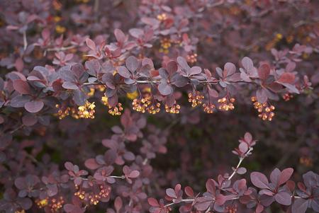 czerwone liście i żółte kwiaty krzewu Berberis thunbergii atropurpurea