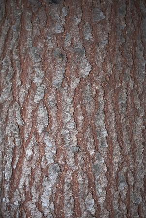 Cedrus deodara bark close up