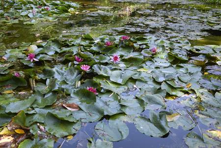 Teich mit blühenden Nymphaea-Pflanzen Standard-Bild