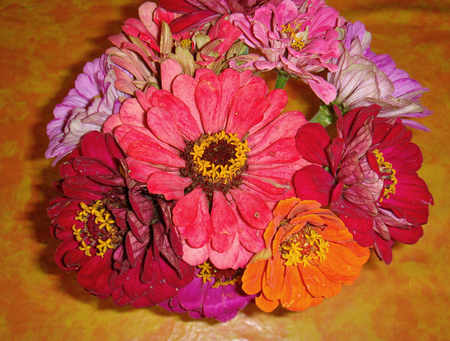 colorful blouquet of Zinnia elegans flowers
