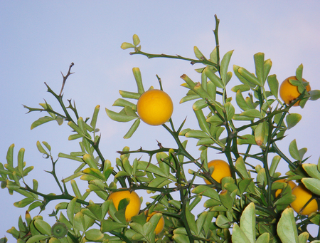 Poncirus trifoliata branch with ripe fruits